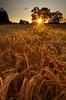 Barley Sunset {Explored} (Chris Beesley) Tags: pentaxk5