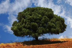 Holm oak (Namacun) Tags: summer holmoak isolatedtree gibralgalia
