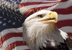 Happy Independence Day (roflute) Tags: blue red white photoshop stars eagle stripes flag baldeagle patriotic adobe usflag