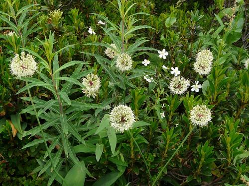 Ail de cerf ou victoriale=Allium victorialis - Collet Allevard 050