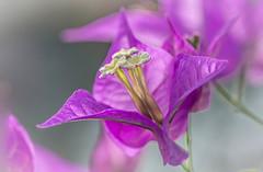 Bougainvillea (Digisnapper (George)) Tags: flower macro nature bougainvillea