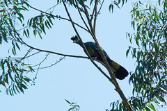 family: Musophagidae. Great Blue Turaco - Bigodi Wetland Sanctuary, Uganda