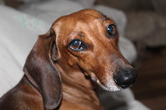 Ari (T o r n a s o l a r ) Tags: chile dog chien cane hond dachshund perro hund canino  mascota teckel pes   quilpue  salchicha mejoramigo