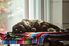 Waiting for a tummy rub (lennycarl08) Tags: cat blackcat carl lc