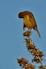 NZ Bellbird - Koromiko (flyingkiwigirl) Tags: new male zealand bellbird koromiko