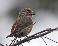 Red Crossbill (female) (Keith Carlson) Tags: finches birdwatcher redcrossbill loxiacurvirostra