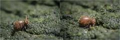 Lipothrix lubbocki (Globular springtail / Kugelspringer / Collembola) (just_me78) Tags: macro nature animals closeup insect tiere natur makro insekt springtail collembola globularspringtail gx7 kugelspringer lipothrixlubbocki