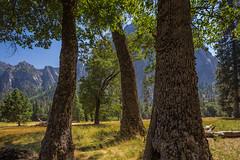 Yosemite Valley Oaks in Yosemite National Park (Lee Rentz) Tags: america california cliffs granitepeaceful meadow mountainous mountains nationalparkservice northamerica oak oaks sierra sierranevada trees usa yosemite yosemitenationalpark yosemitevalley