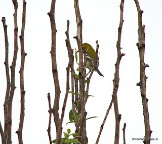 Black-throated Green Warbler_N8459_5866.NEF