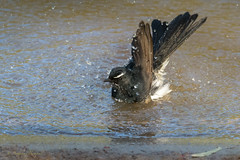 Willy Wagtail Bathing (anthonyt1120) Tags: willy wagtail bathing bath water bird animal outdoor wildlife wings black white river yarra melbourne australia mountside gallery prints anthony thompson