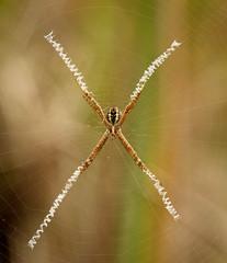 An accurate stabilimentum (Lacewing!) Tags: standrewscross arachtober stabilimentum argiopekeyserlingi backyard sydney nsw australia wild nature spider