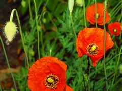 poppies2011 (hans 1960) Tags: red flower macro rot fleurs germany deutschland spring colours natur blossoms blumen poppies farben frühling mohnblumen
