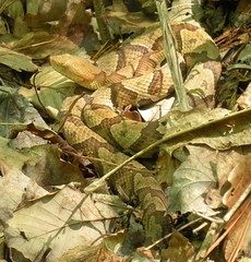 DSCN5971 (David A. Lewis) Tags: mountains milk snake queen appalachian northern eastern reptiles ringneck copperhead