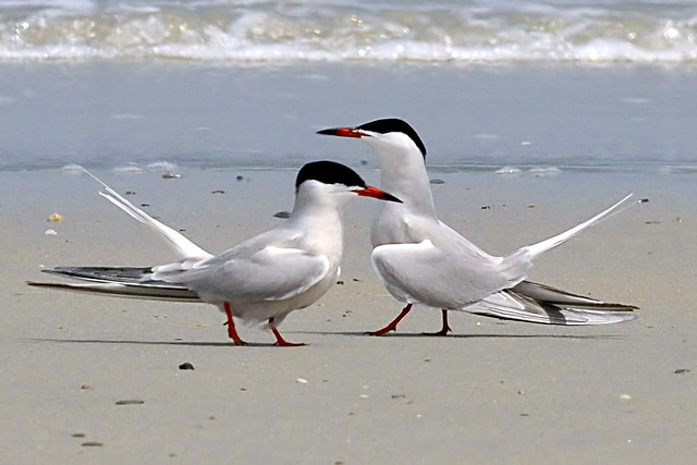 terns dancing 1