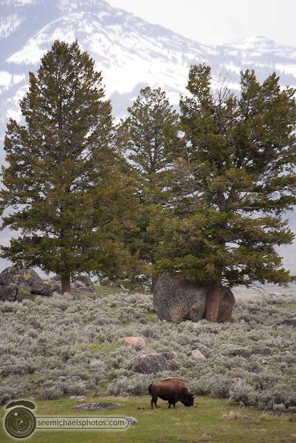 Yellowstone Day 1 52611 © Michael Klayman-047
