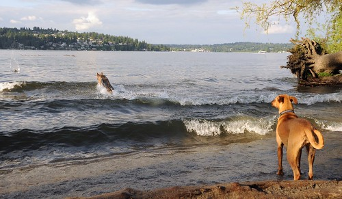 Rosie watches from the shore as a German Shepard fetches a ball in the waves of Lake Washington, she's not a swimmer, Magnuson Dog Park, Seattle, Washington, USA by Wonderlane