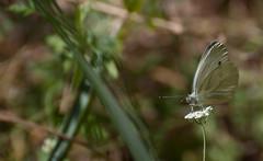 JRLD-20110617_12769 (XoseMon) Tags: insectos spain zaragoza animales mariposa aragón aragn