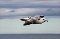 Чайки в полете 2007г (16) (Магадан) Tags: anadyr chukotka анадырь чукотка чукчи луораветланы luoravetlan