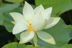 Parc Floral 022 (MUMU.09) Tags: photo foto lotus flor  bild blume fiore  imagem     flori       fiorediloto hoasen flordeloto  lotusblomma floweroflotus   lotosblume fleurdelotus     ltuszvirg kwiatlotosu  lotusblomst lotusblth lotusblm   lotosovkvt lotusiei mumu09