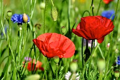 Croyez-moi, c'est l't! Believe me, it's Summer! (Michele*mp) Tags: park flowers france fleurs grenoble europe poppy parc cornflower coquelicot bluet meylan isre dauphin bej ete michelemp fleursetpaysages parcdubachais gresivaudan