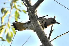 Northern Flicker (male) (l_dewitt) Tags: statepark park new england nature outdoors nikon state farm connecticut wildlife newengland northern haley flicker southeastern northernflicker d5000 haleyfarm