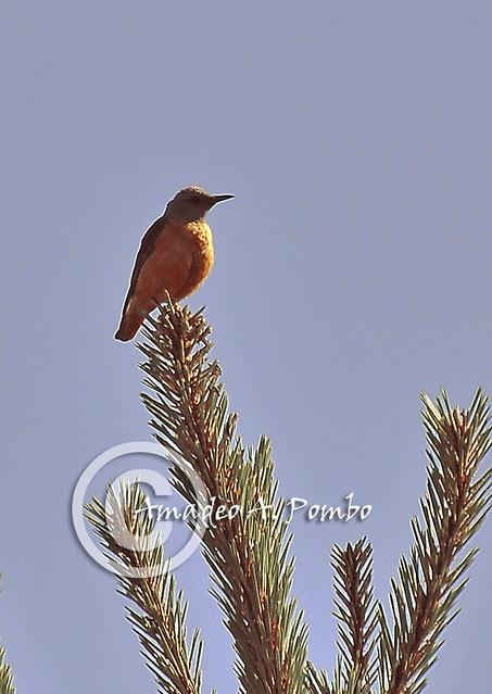 Roquero Rojo (Monticola saxatilis)