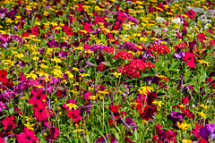 CN148 Flower Bed (listentoreason) Tags: usa plant flower nature america canon garden landscape epcot unitedstates florida scenic favorites places disneyworld waltdisneyworld themepark futureworld magnoliophyta angiosperm waltdisneyworldresort ef28135mmf3556isusm score25