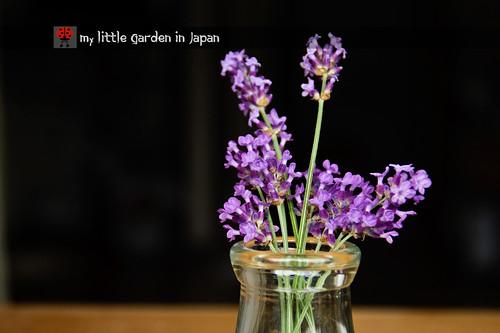 lavender-season