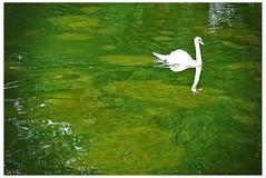 Swan Swan H in a pool of Jello (swanksalot) Tags: park green london water swan pond swanksalot sethanderson