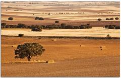 Gold field (Antonio Carrillo (Ancalop)) Tags: espaa tree field canon arbol spain europa europe mark andalucia ii campo 5d lopez antonio almeria carrillo trigo 70200mm 70200mmf4 ancalop