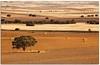 Gold field (Antonio Carrillo (Ancalop)) Tags: españa tree field canon arbol spain europa europe mark andalucia ii campo 5d lopez antonio almeria carrillo trigo 70200mm 70200mmf4 ancalop