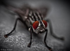 Fly (hunter of moments) Tags: macro luz insect fly nikon mosca insecto blackfly d5000