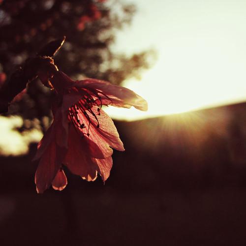 sakura'n sunset