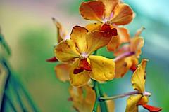 Oh..Yellow (xeno(x)) Tags: orchid macro yellow canon asia 2009 xeno 5d2