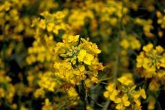 Conola Blooms (Hartless Photo) Tags: flower oklahoma yellow photo bloom feild hartless okarche conola