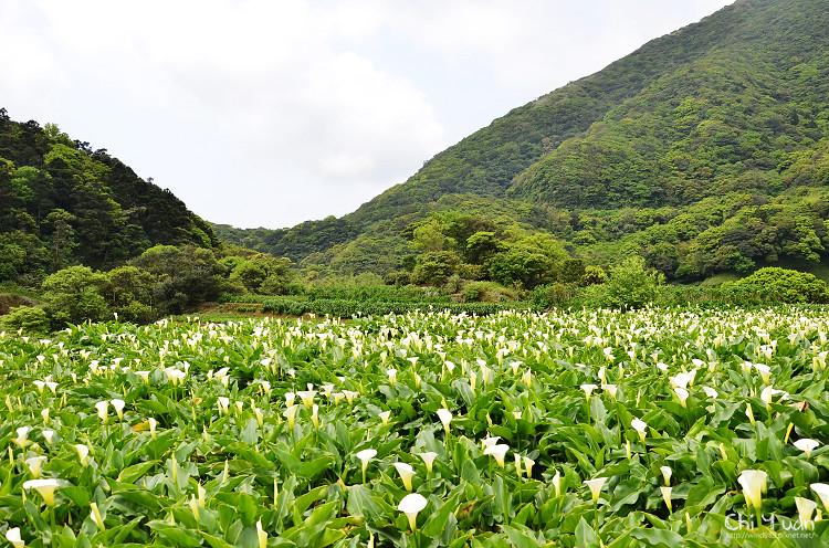 2012竹子湖海芋季03.jpg