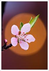 Cherry blossoms (HoangtheNhiem) Tags: pink wild flower beauty cherry spring bloom sapa