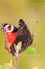 Inachis io - Castel Giorgio - Giugno 2010 (pilupax) Tags: io insetto inachis nymphalidae castelgiorgio lepidottero casaperazza
