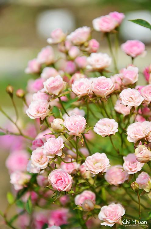 玫瑰園。迷你薰衣草02.jpg