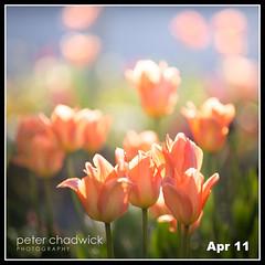 Tulip glow {102-366} (PeterChad) Tags: light sunlight flower love bulb spring cheshire bright bokeh tulip bloom paparazzi blooming alderleyedge