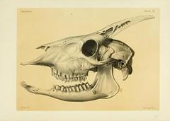 Anglų lietuvių žodynas. Žodis capricornis reiškia berniukas lietuviškai.