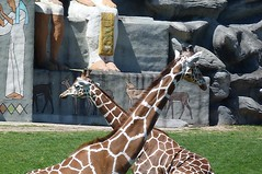 """Long Necks • <a style=""""font-size:0.8em;"""" href=""""http://www.flickr.com/photos/77994446@N03/7147152219/"""" target=""""_blank"""">View on Flickr</a>"""