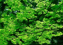 Fresh Green (love_child_kyoto) Tags: park travel nature japan forest woods kyoto gardening   botanicalgarden earlysummer  mapletrees          freshgreenleaves leicadlux5 dlux5