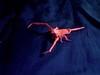 Micro-whip Scorpion