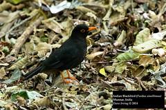 Indian Blackbird (Turdus simillimus) (Dave 2x) Tags: india blackbird southindia munnar turdussimillimus indianblackbird daveirving httpwwwdaveirvingwildlifephotographycom
