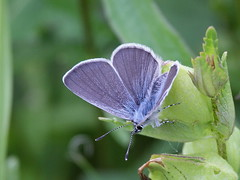 Small Blue - Darland Banks (mikehook51) Tags: uk blue england nature sunshine digital butterfly kent spring wings butterflies db lepidoptera telephoto common grassland avian underwing naturereserves extensiontubes smallblue chalkland kentwildlifetrust canoneos7d smallblues darlandbankskwt