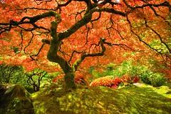 Dappled Sunlight (Alan Amati) Tags: tree oregon portland japanese japanesegarden maple nw northwest or japanesemaple pacificnorthwest dappledsunlight topf500 amati alanamati