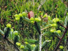 Abies alba Mill. 1768 (PINACEAE) (helicongus) Tags: spain pinaceae abies abiesalba jardínbotánicodeiturraran