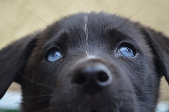 (JessieGarcia) Tags: blue portrait dog cute beautiful puppy mutt eyes lab husky labrador blueeyes siberianhusky huskador