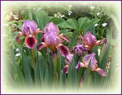 Mini- iris (edenseekr) Tags: iris